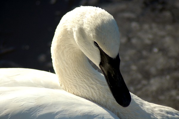 Swan Look