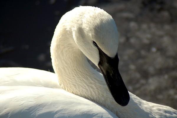 Swan Look